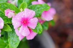 Infini Cherry New Guinea et rosée électriques de matin photos libres de droits