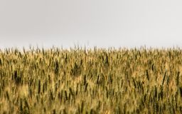 In the infinite fields, the cultivation of wheat stock photos