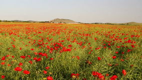 Infinite poppy field stock footage