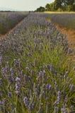 Infinite Row Of Lavender In A Brihuega Meadow. Nature, Plants, Odors, Landscapes. September 8, 2018 Brihuega, Guadalajara, Castilla La Mancha stock images
