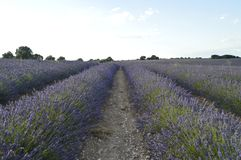 Infinite Rows Of Lavender In A Brihuega Meadow. Nature, Plants, Odors, Landscapes. Infinite Rows Of Lavender In A Brihuega Meadow. Nature, Plants Odors royalty free stock image