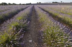 Infinite Rows Of Lavender In A Brihuega Meadow. Nature, Plants, Odors, Landscapes. Infinite Rows Of Lavender In A Brihuega Meadow. Nature, Plants, Odors stock photography