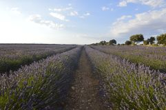 Infinite Rows Of Lavender In A Brihuega Meadow. Nature, Plants, Odors, Landscapes. Infinite Rows Of Lavender In A Brihuega Meadow. Nature Plants, Odors royalty free stock image