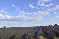 Infinite Rows Of Lavender With A Sky With Precious Clouds In A Brihuega Meadow. Nature, Plants, Odors, Landscapes. September 8, 2018. Brihuega, Guadalajara stock photo
