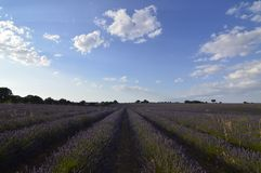 Infinite Rows Of Lavender With A Sky With Precious Clouds In A Brihuega Meadow. Nature, Plants, Odors, Landscapes. September 8, 2018. Brihuega, Guadalajara royalty free stock photography