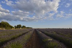 Infinite Rows Of Lavender With A Sky With Precious Clouds In A Brihuega Meadow. Nature, Plants, Odors, Landscapes. September 8, 2018. Brihuega, Guadalajara stock photography