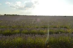 Infinite Rows Of Lavender With Sun Going Between Its Flowers In A Brihuega Meadow. Nature, Plants, Odors, Landscapes. September 8, 2018. Brihuega, Guadalajara stock photography