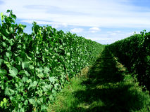 Infinite vineyard. Line of growing vines stretching to the horizon, Serignan, Herault, France Stock Photos