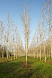 Infinity. Endless rows of paper-wood trees Royalty Free Stock Photos