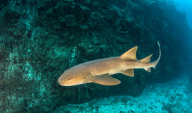Infirmière Shark Image libre de droits