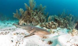 Infirmière Shark Photo libre de droits