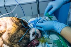 Inflated endotracheal tube valve in a dog royalty free stock images
