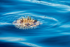 Inflated porcupine fish on sea surface Stock Photography