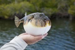 Inflated Smooth puffer fish in Florida mangroves Royalty Free Stock Photos
