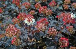 Inflorescência branca no arbusto Foto de Stock Royalty Free