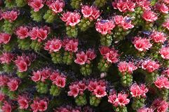Inflorescência cor-de-rosa flor do rojo do Echium Wildpretii ou do Tajinaste imagem de stock royalty free