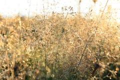 Inflorescência da grama com gotas de orvalho Foto de Stock Royalty Free