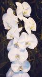 Inflorescência da orquídea branca Fotografia de Stock