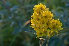 Inflorescência de flores amarelas na fotografia macro imagem de stock