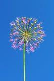 Inflorescência do Allium imagens de stock royalty free