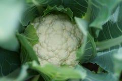 Inflorescência do close-up da couve-flor Fotos de Stock Royalty Free