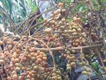 Inflorescência do coco fotografia de stock