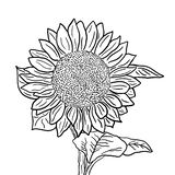 Inflorescência do girassol com folhas em um fundo branco Ilustração preto e branco do esboço ilustração stock