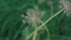 Inflorescência do guarda-chuva da flor video estoque