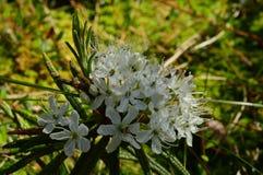 Inflorescência do pântano da flor do Ledum nas gotas do orvalho da manhã fotos de stock