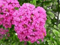 Inflorescência do rosa de terry da luxúria da murta de crepe foto de stock