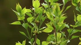 A inflorescência do Syringa lilás vulgar entre o verde sae na brisa vídeos de arquivo