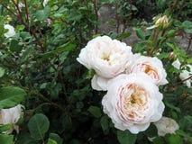 Inflorescência elegante de rosas bege pálidas claras em uma obscuridade - fundo verde Foto de Stock