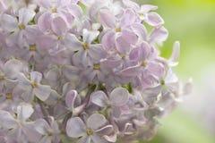 Inflorescência lilás Imagens de Stock