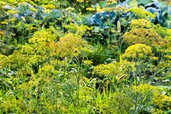 Inflorescência molhadas do aneto no jardim após a chuva Imagem de Stock Royalty Free