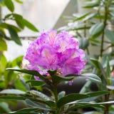 Inflorescência uma flor roxa bonita de um rododendro que são ficadas situados nas extremidades dos tiros Imagens de Stock