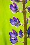 inflorescence Images libres de droits