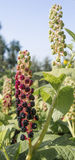 Inflorescence American pokeweed. In the garden Royalty Free Stock Photo