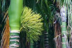 Inflorescence of areca Stock Photos