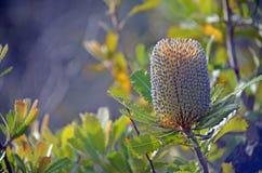 Inflorescence of Australian native Banksia serrata. Australian native Old Man Banskia flower, Banksia serrata, Royal National Park, Sydney, NSW, Australia royalty free stock photography