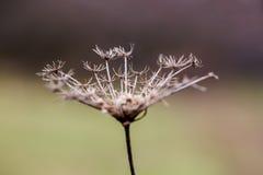 Inflorescence av en torkad umbellate växt Symbol av sorgsenhet och ensamhet royaltyfri fotografi