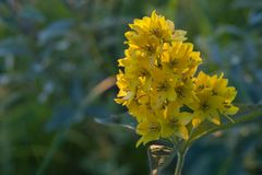 Inflorescence av gula blommor i makrofotografi fotografering för bildbyråer