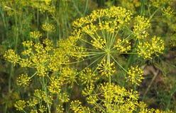 Inflorescence av organisk dill Royaltyfria Foton