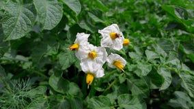 Inflorescence av potatisar i trädgården arkivfoton