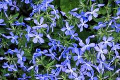 Inflorescence av små blåa blommor Royaltyfria Foton