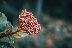 Inflorescence av viburnumtinusen royaltyfria bilder