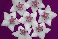 Inflorescence av vita blommor i skuggor av lilan Fotografering för Bildbyråer