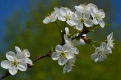 Inflorescence av vita blommor på en körsbärsröd filial Arkivbild
