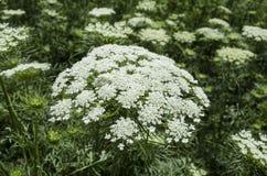 Inflorescence avec des carottes de fleur blanche plantées sur les graines Images libres de droits