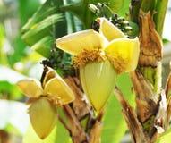 Inflorescence of banana palm Stock Photos