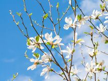Inflorescence a beautiful white flower of Magnolia. Kobus on the branches of a tree against the clear blue sky in sunlight royalty free stock photography